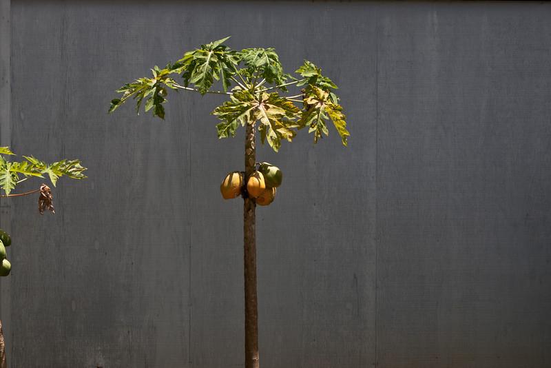 Гавайские овощи/фрукты ч.1 Papaya Tree
