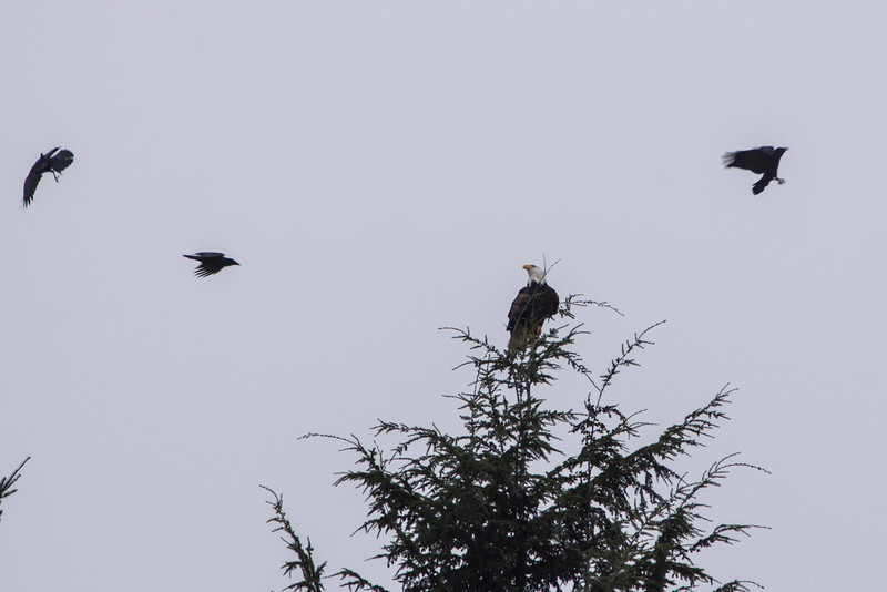 Bald Eagle being mobbed by Crows
