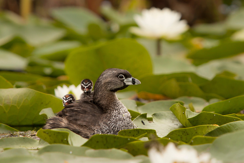 Pied-billed Grebe with babies riding on her back