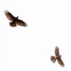 Cooper's Hawk with prey being mobbed by a crow