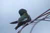 Anna's Hummingbird preening in fog