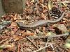 Northwestern Alligator Lizard