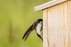 Tree Swallow on the nest box