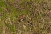 Northern Pygmy-Owls caught Western Skink
