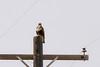 Northern Rough-legged Hawk