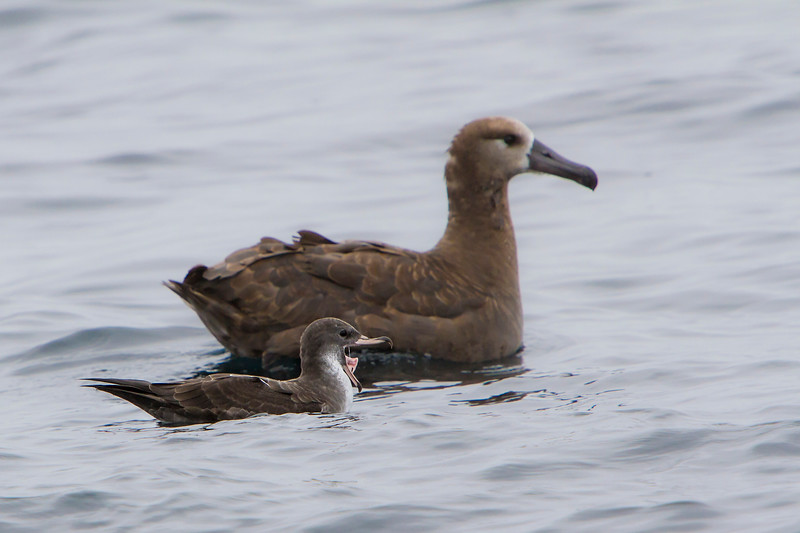 Pink-footed Shearwater next to Black-footed Albatross