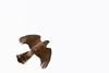 Cooper's Hawk with prey