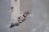 Northern Flicker in fog<br /> (Red-shafted x Yellow-shafted hybrid)